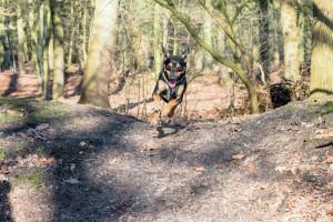 160228-Wald-Spaziergang-Hunde-Lobo-005