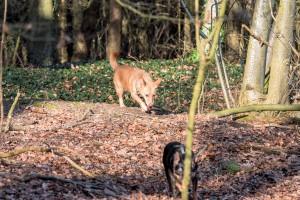 160228-Wald-Spaziergang-Hunde-Lobo-006